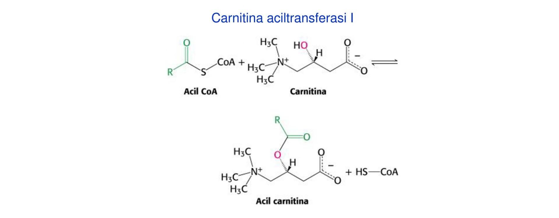 ACETIL-L-CARNITINA - La molecola Bruciagrassi